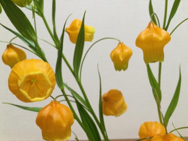 黄色いベルのような形の花がかわいいイヌサフラン科のサンダーソニア