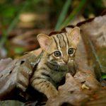 超キュートな見た目に癒される!世界最小の猫「サビイロネコ」がすっごくカワイイ